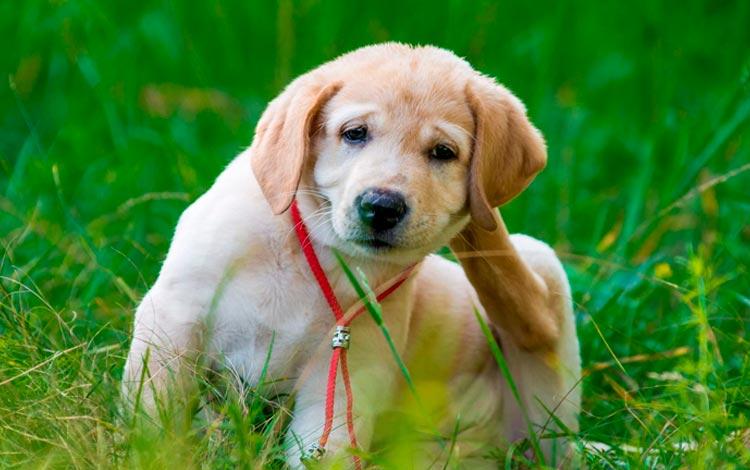 Alergia em cães