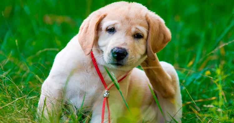 Alergia em cães: o que devo fazer?